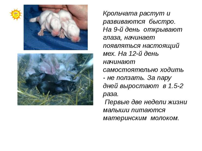 Крольчата растут и развиваются быстро. На 9-й день открывают глаза, начинает ...