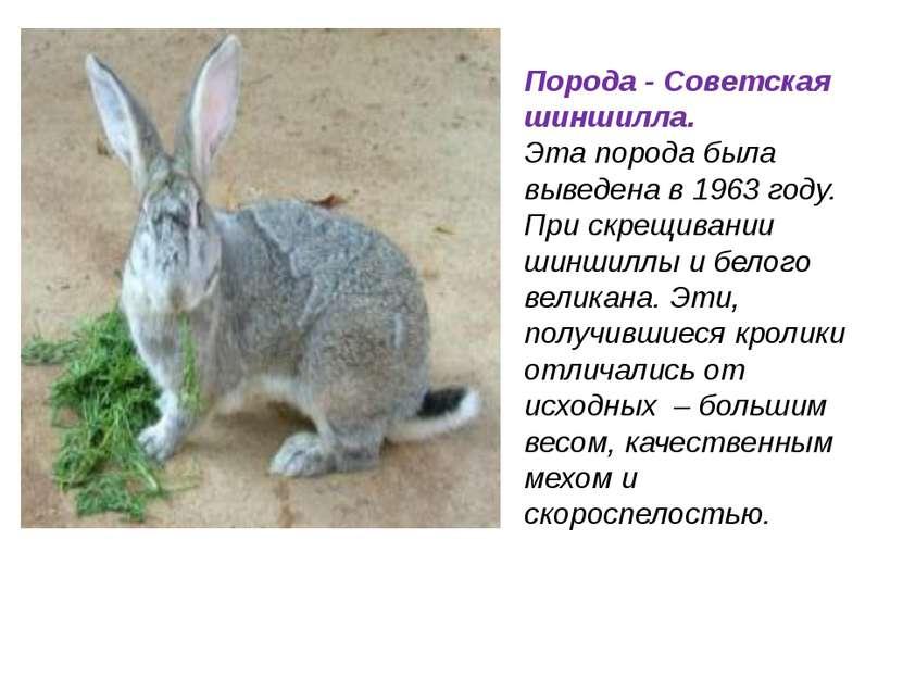 Порода - Советская шиншилла. Эта порода была выведена в 1963 году. При скрещи...
