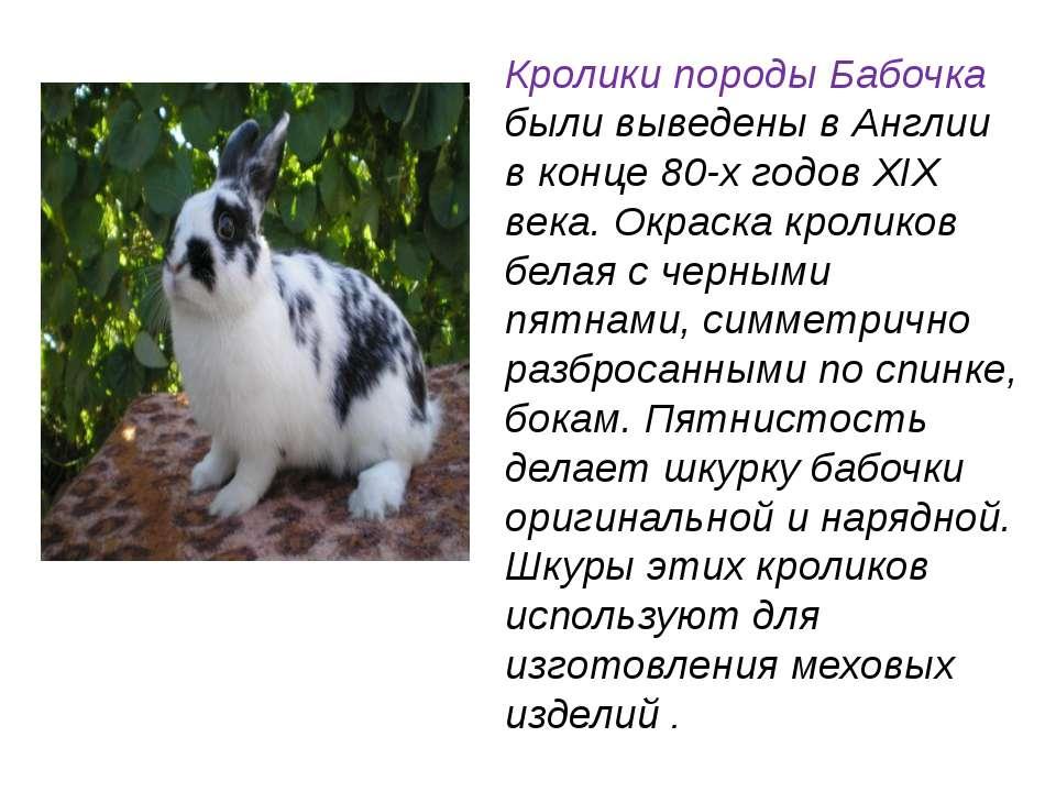 Кролики породы Бабочка были выведены в Англии в конце 80-х годов XIX века. Ок...