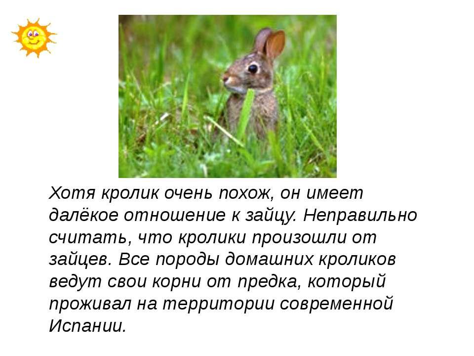 Хотя кролик очень похож, он имеет далёкое отношение к зайцу. Неправильно счит...