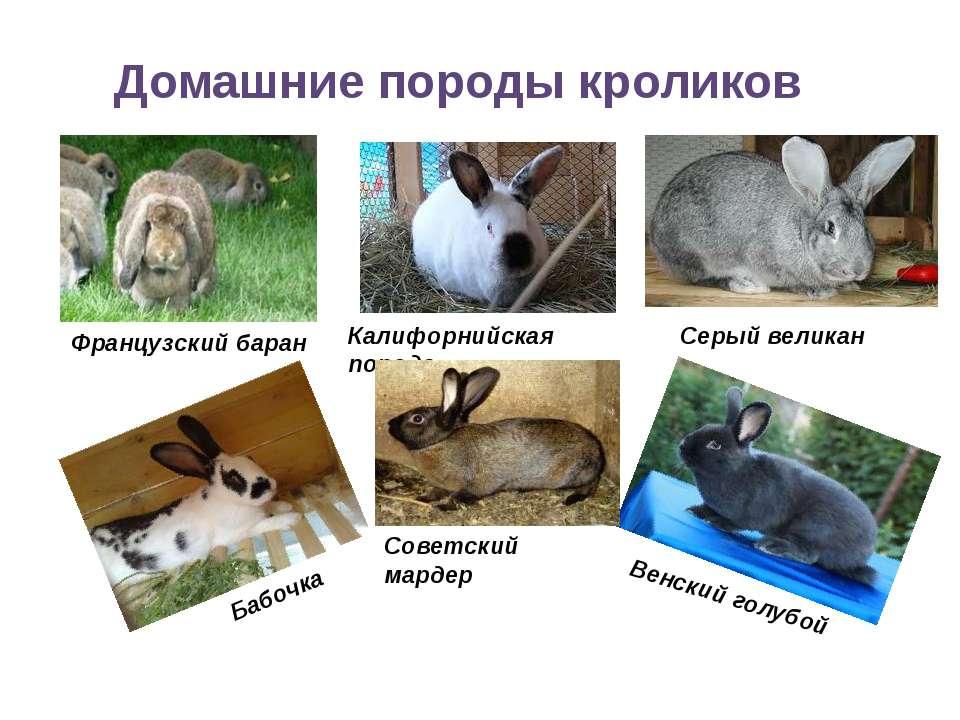 Домашние породы кроликов Французский баран Калифорнийская порода Серый велика...