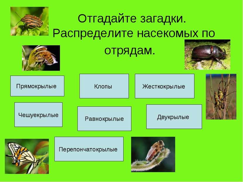 Отгадайте загадки. Распределите насекомых по отрядам. Прямокрылые Клопы Жестк...