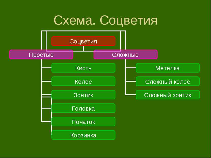 Схема. Соцветия