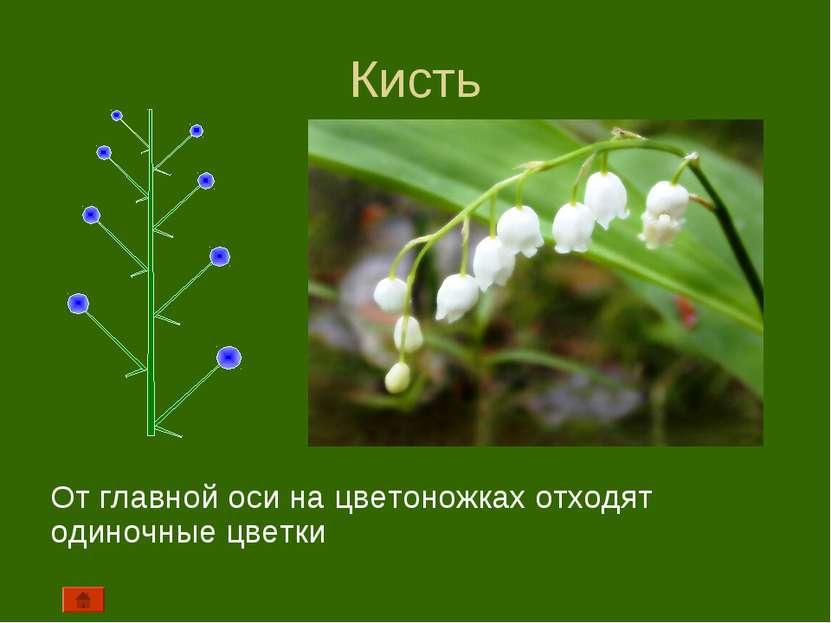 Кисть От главной оси на цветоножках отходят одиночные цветки