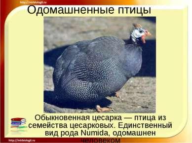 Одомашненные птицы Обыкновенная цесарка — птица из семейства цесарковых. Един...