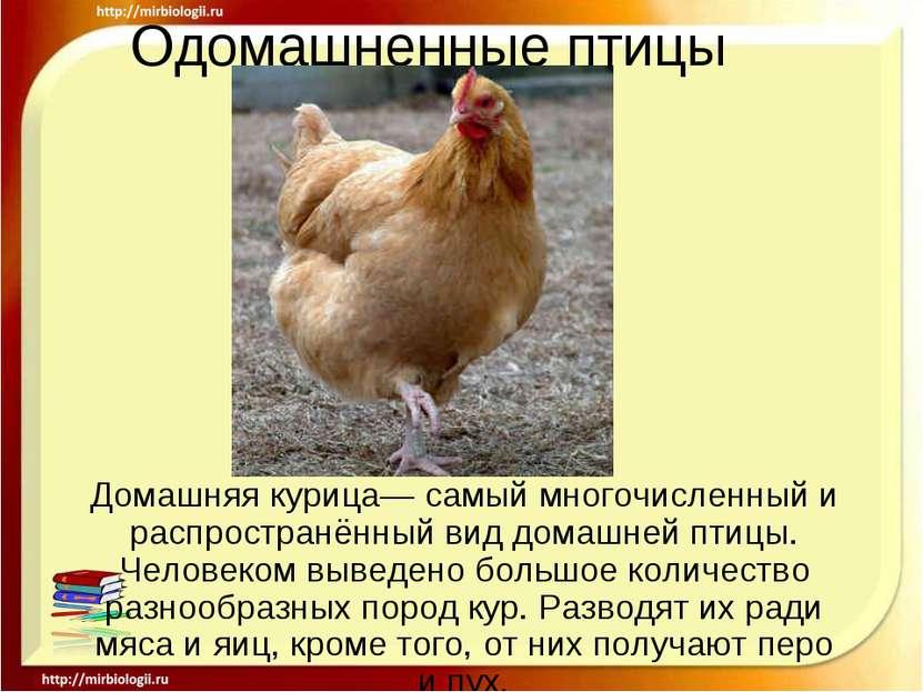 Одомашненные птицы Домашняя курица— самый многочисленный и распространённый в...