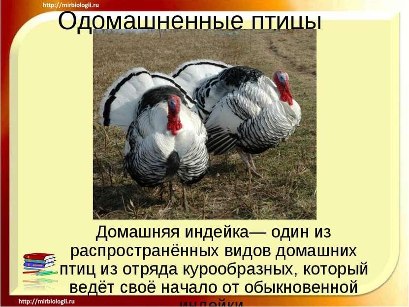 Одомашненные птицы Домашняя индейка— один из распространённых видов домашних ...