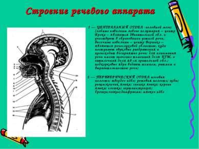 Строение речевого аппарата 1 — ЦЕНТРАЛЬНЫЙ ОТДЕЛ -головной мозг;(лобные извил...