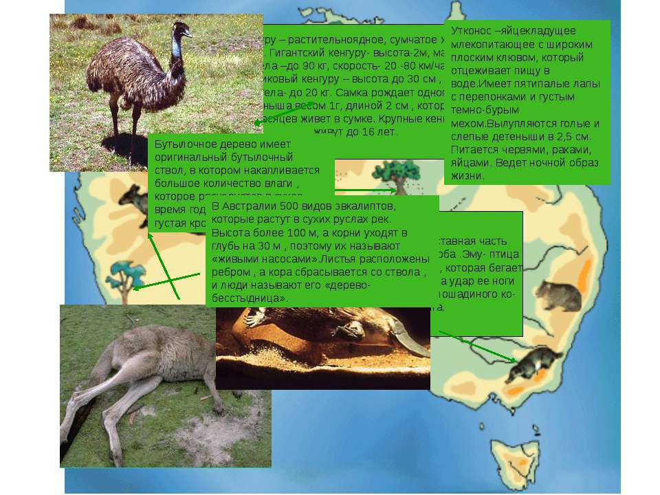 Кенгуру – растительноядное, сумчатое живот- ное. Гигантский кенгуру- высота-2...