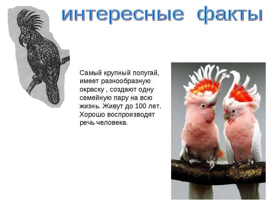 Самый крупный попугай, имеет разнообразную окраску , создают одну семейную па...
