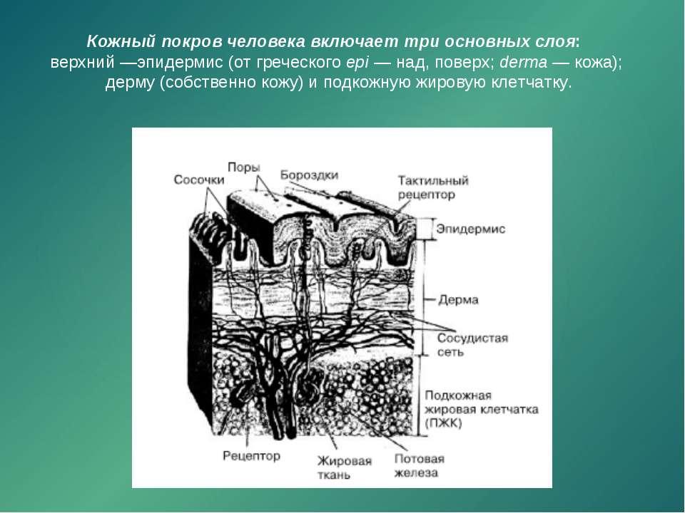Кожный покров человека включает три основных слоя: верхний —эпидермис (от гре...