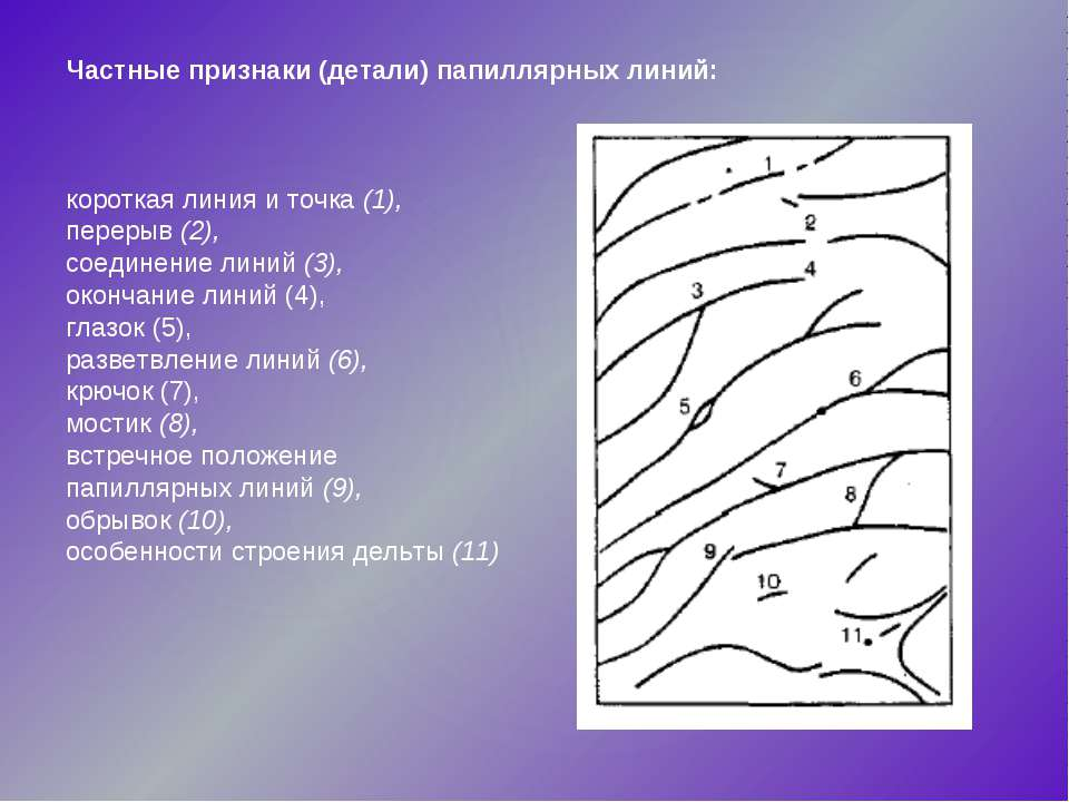Частные признаки (детали) папиллярных линий: короткая линия и точка (1), пере...