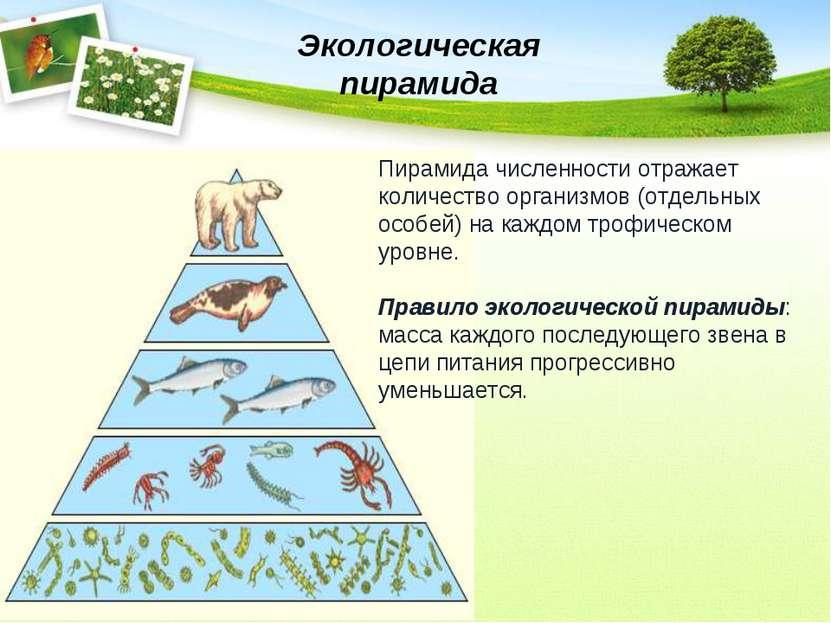 Экологическая пирамида Пирамида численности отражает количество организмов (о...