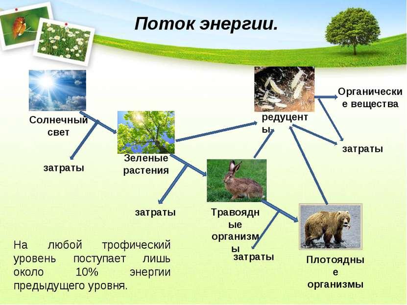 Поток энергии. Солнечный свет Зеленые растения Травоядные организмы Плотоядны...