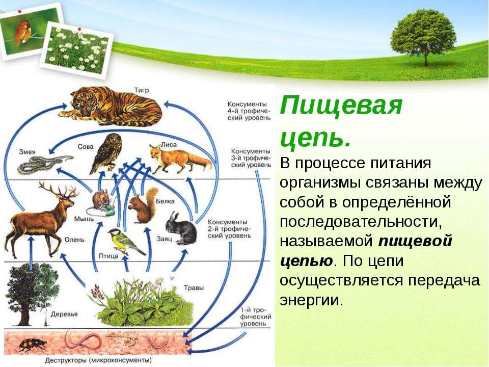 Пищевая цепь. В процессе питания организмы связаны между собой в определённой...