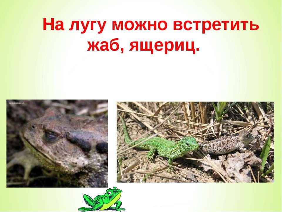 На лугу можно встретить жаб, ящериц.