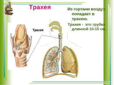 Трахея Из гортани воздух попадает в трахею. Трахея - это трубка длинной 10-15...