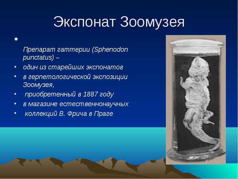 Экспонат Зоомузея Препарат гаттерии (Sphenodon punctatus) – один из старейших...