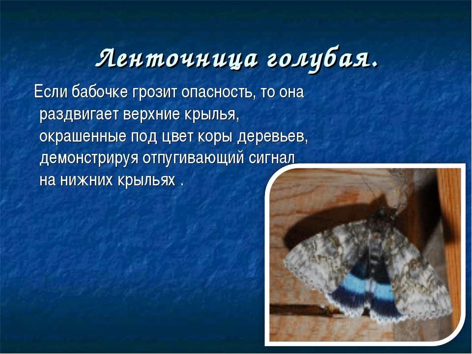 Ленточница голубая. Если бабочке грозит опасность, то она раздвигает верхние ...