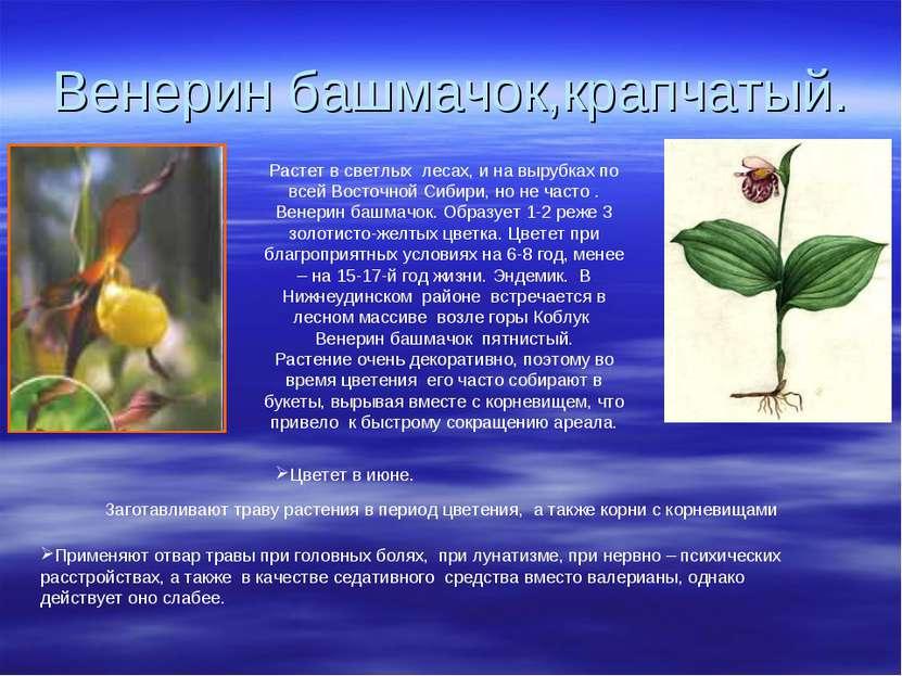 Венерин башмачок,крапчатый. Растет в светлых лесах, и на вырубках по всей Вос...