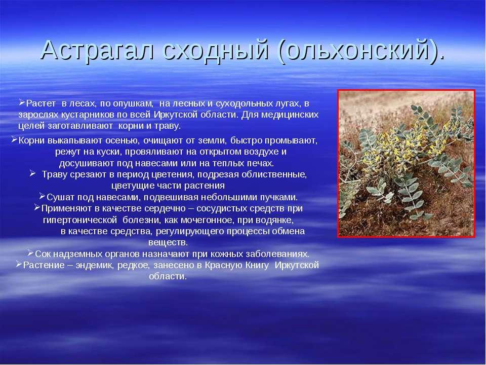 Астрагал сходный (ольхонский). Растет в лесах, по опушкам, на лесных и суходо...