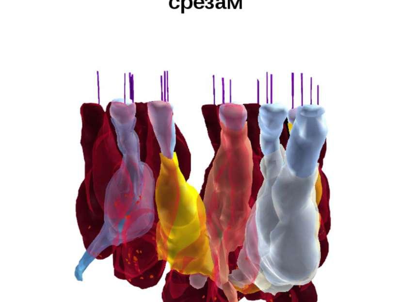 Пример эмпирической реконструкции 3-D структуры эпителия вестибулярного аппар...