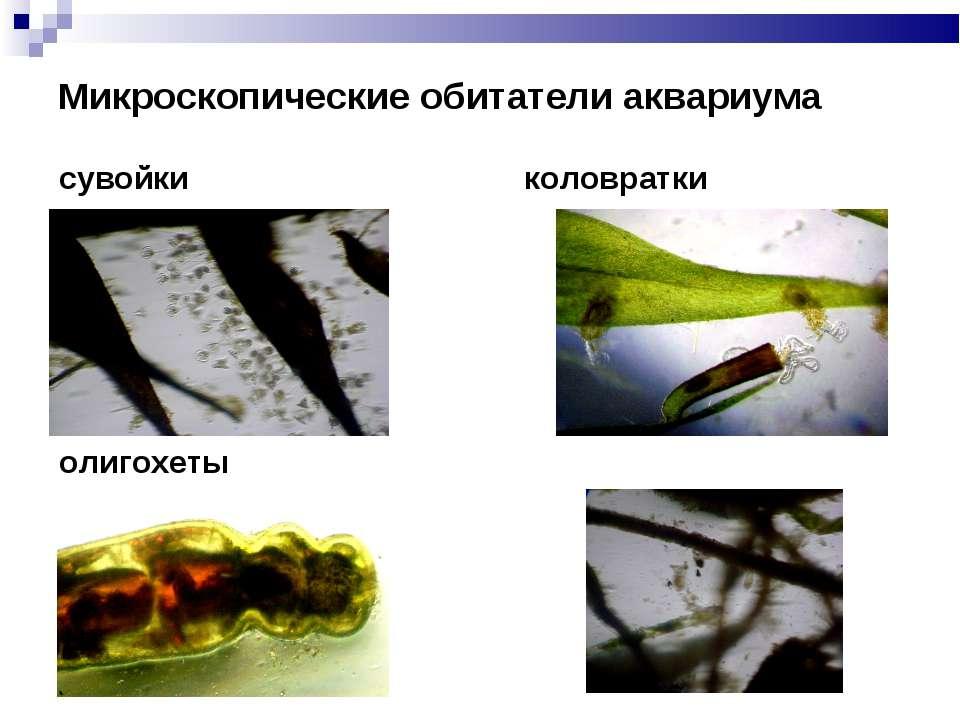 Микроскопические обитатели аквариума сувойки коловратки олигохеты