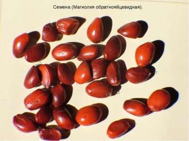 Семена (Магнолия обратнояйцевидная).