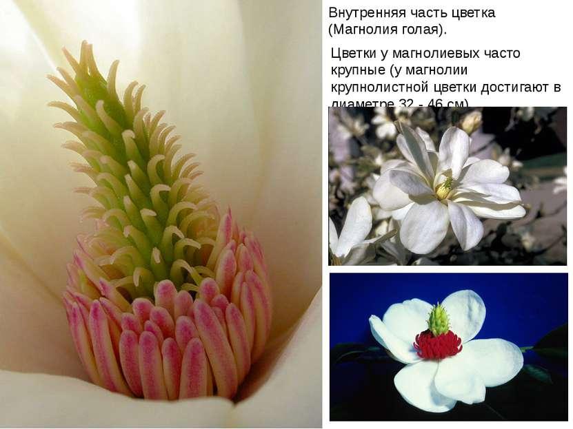 Внутренняя часть цветка (Магнолия голая). Цветки у магнолиевых часто крупные ...
