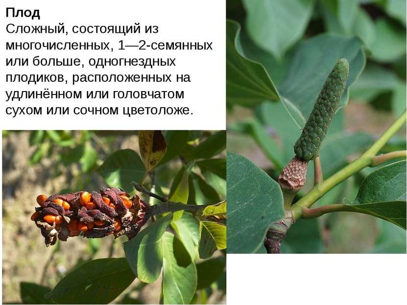 Плод Сложный, состоящий из многочисленных, 1—2-семянных или больше, одногнезд...