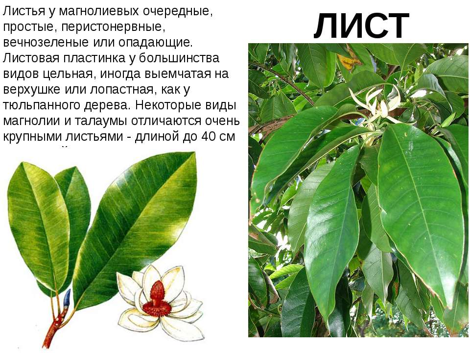 ЛИСТ Листья у магнолиевых очередные, простые, перистонервные, вечнозеленые ил...