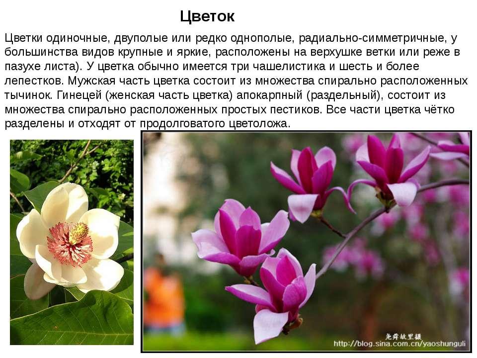 Цветок Цветки одиночные, двуполые или редко однополые, радиально-симметричные...