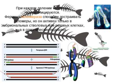 При каждом делении теломеры недореплицируются. Фермент теломераза способен до...
