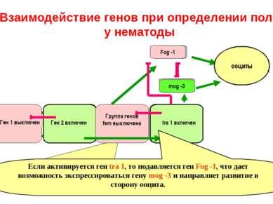 Взаимодействие генов при определении пола у нематоды Fog -1 спермии mog -3 Це...