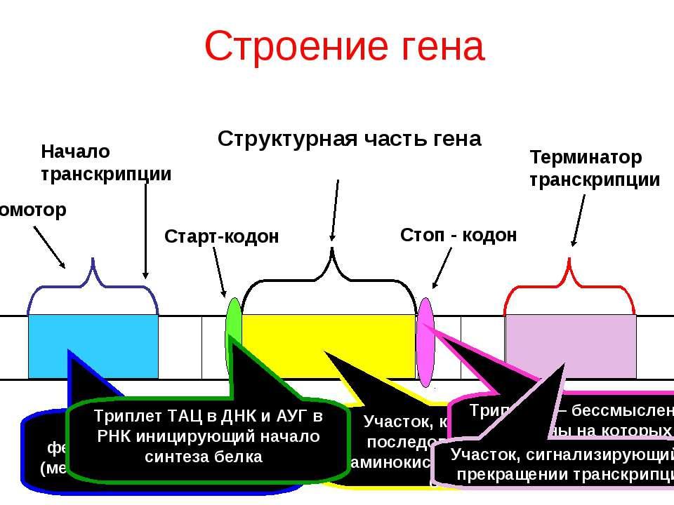 Структурная часть гена Промотор Начало транскрипции Старт-кодон Стоп - кодон ...