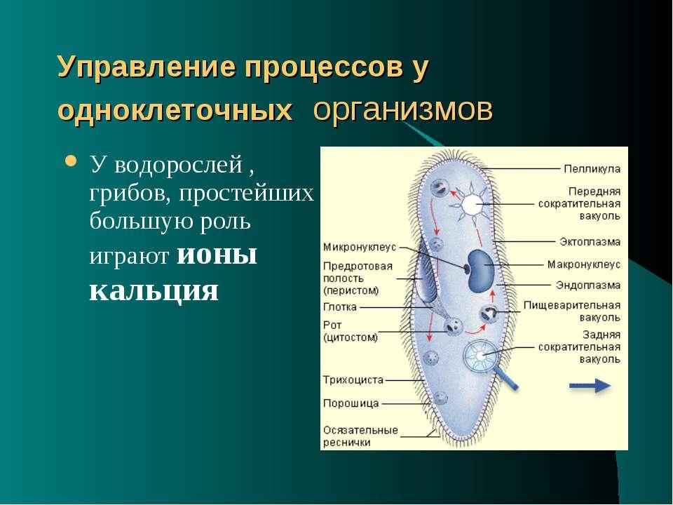Управление процессов у одноклеточных организмов У водорослей , грибов, просте...