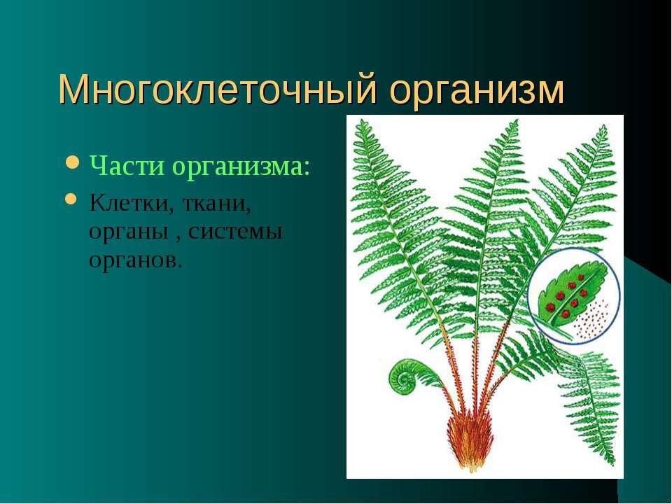 Многоклеточный организм Части организма: Клетки, ткани, органы , системы орга...