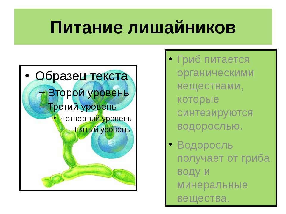 Питание лишайников Гриб питается органическими веществами, которые синтезирую...