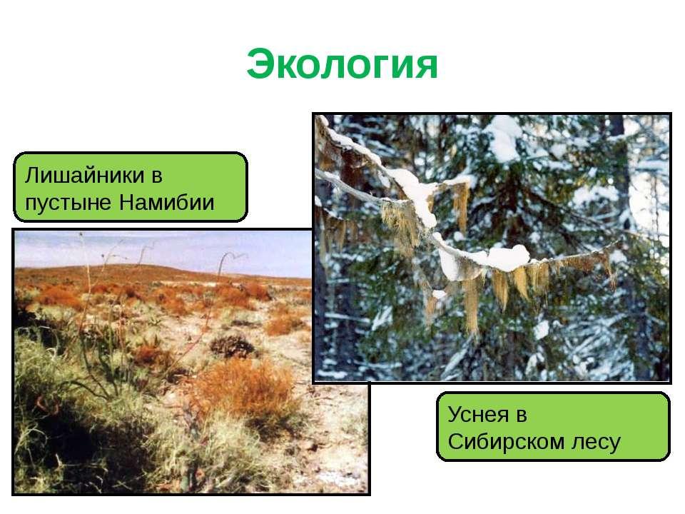 Экология Лишайники в пустыне Намибии Уснея в Сибирском лесу