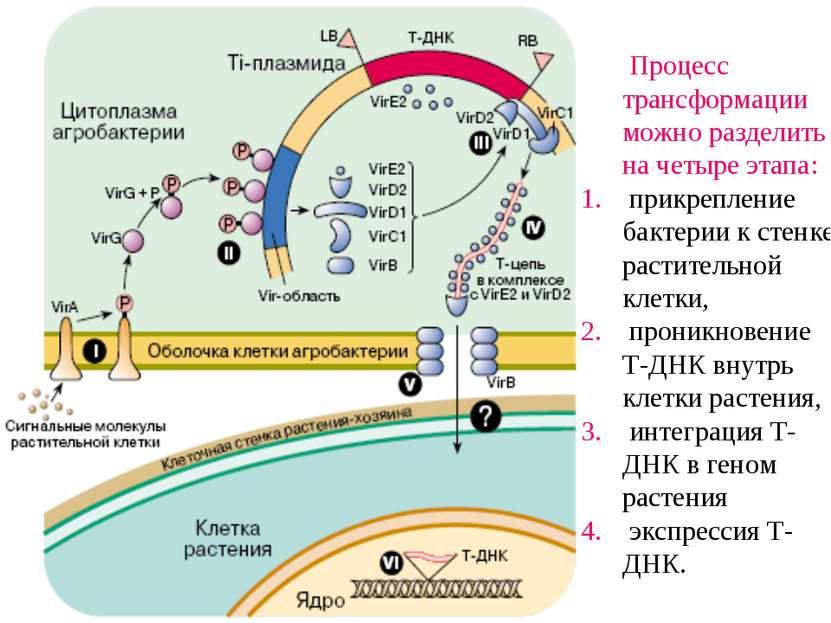 Процесс трансформации можно разделить на четыре этапа: прикрепление бактерии ...