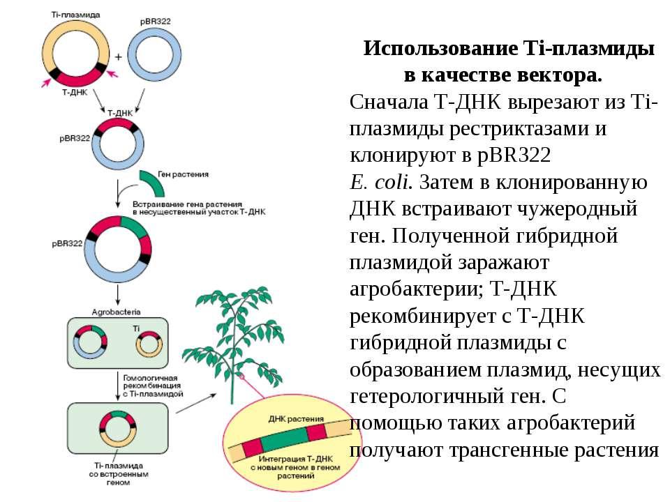 Использование Ti-плазмиды в качестве вектора. Сначала Т-ДНК вырезают из Ti-пл...