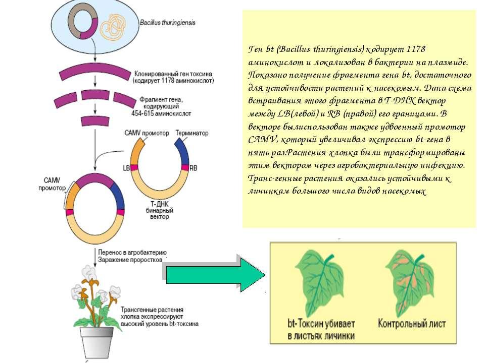 Ген bt (Bacillus thuringiensis) кодирует 1178 аминокислот и локализован в бак...