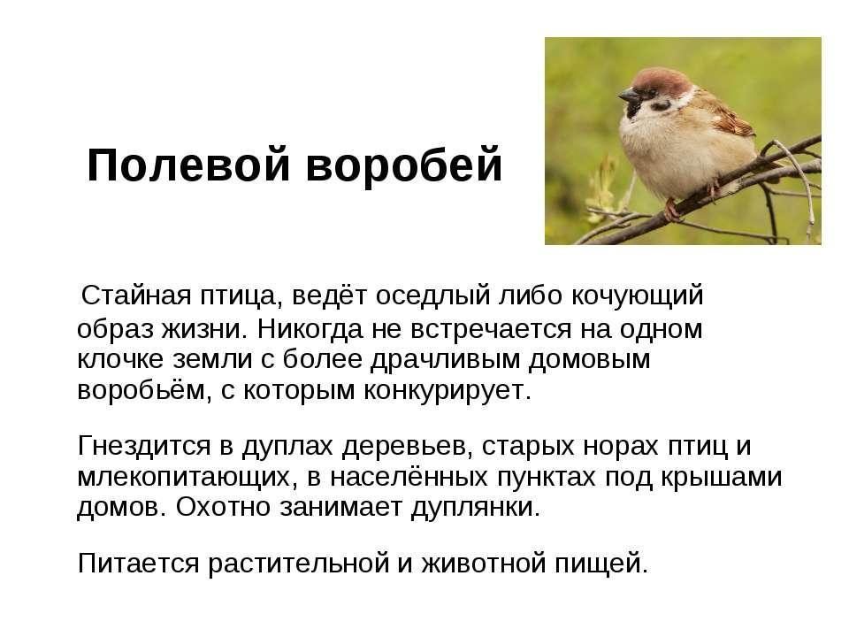 Полевой воробей Стайная птица, ведёт оседлый либо кочующий образ жизни. Никог...