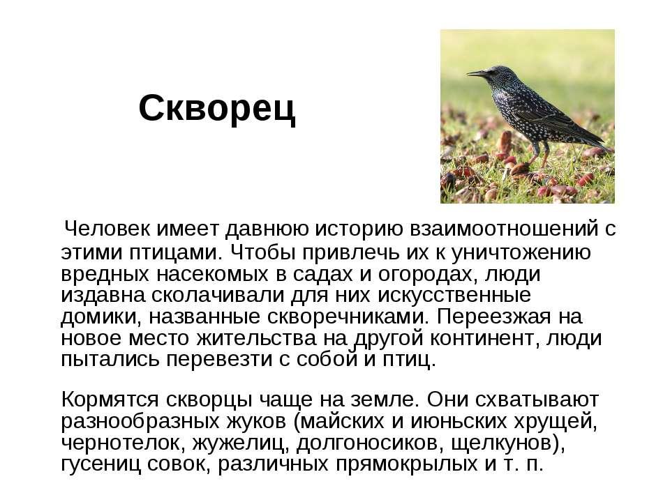 Скворец Человек имеет давнюю историю взаимоотношений с этими птицами. Чтобы п...