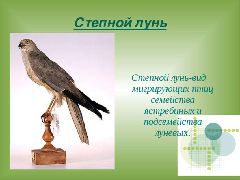 Степной лунь Степной лунь-вид мигрирующих птиц семейства ястребиных и подсеме...