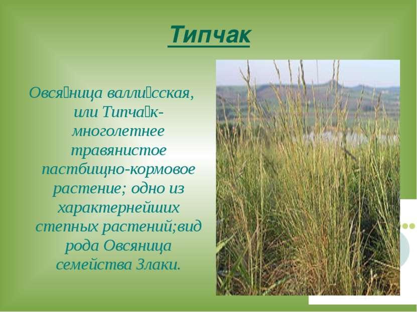 Типчак Овся ница валли сская, или Типча к-многолетнее травянистое пастбищно-к...