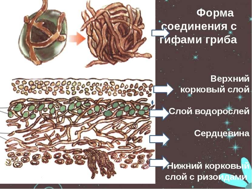 Форма соединения с гифами гриба Верхний корковый слой Слой водорослей Сердцев...