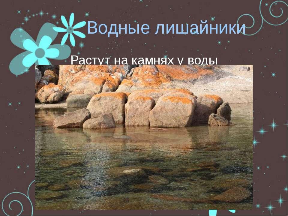 Водные лишайники Растут на камнях у воды