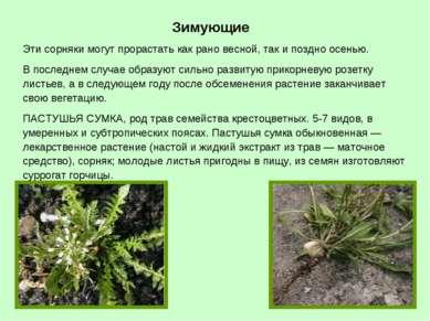 Зимующие Эти сорняки могут прорастать как рано весной, так и поздно осенью. В...