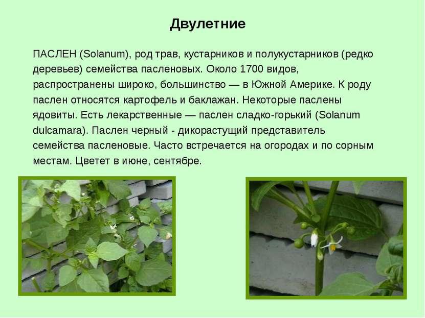 ПАСЛЕН (Solanum), род трав, кустарников и полукустарников (редко деревьев) се...